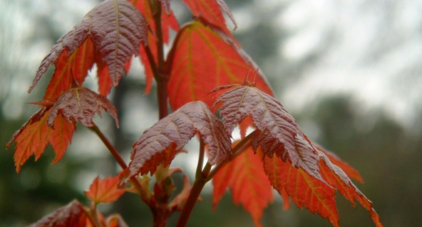 Red maple spring leaves. Photo Dave Anderson