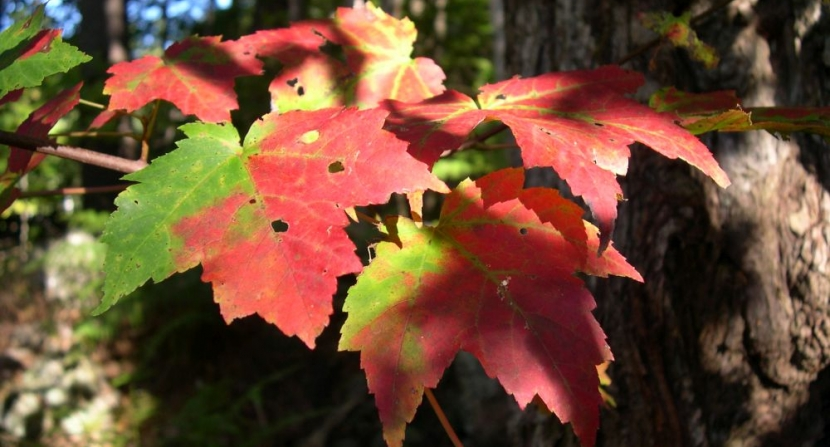 mottled colors - red and green - of Red maple leaves in the sunlight and shadow in the forest understory