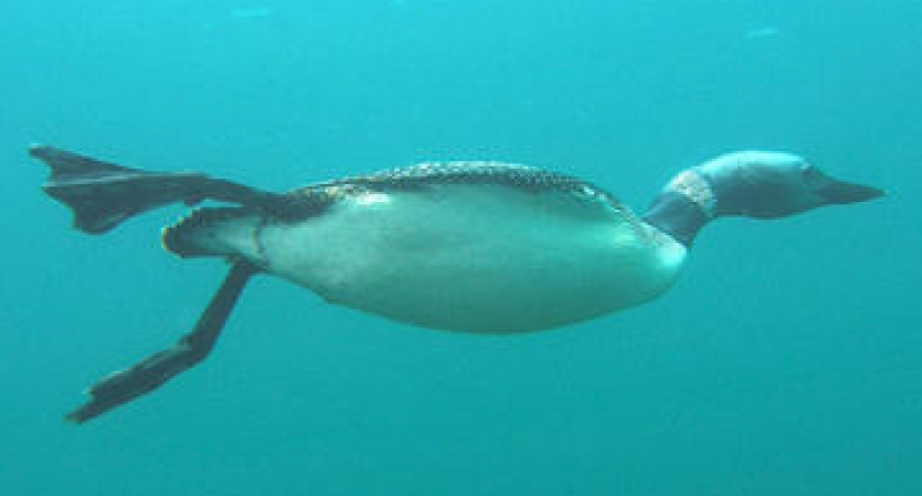 A loon swims under water.