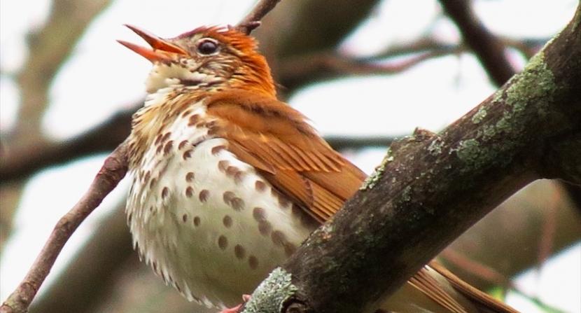 Wood thrush singing in New Hampshire