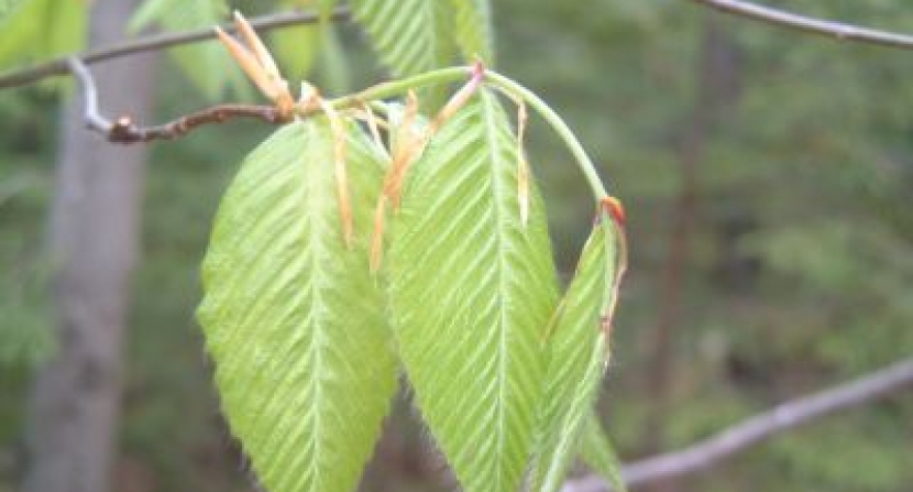 Tender spring Beech leaves. Photo Dave Anderson