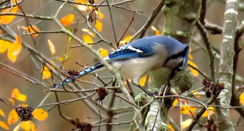 Bright blue jay eats a small dead rodent hung in an alder branch with autumn gold foliage.