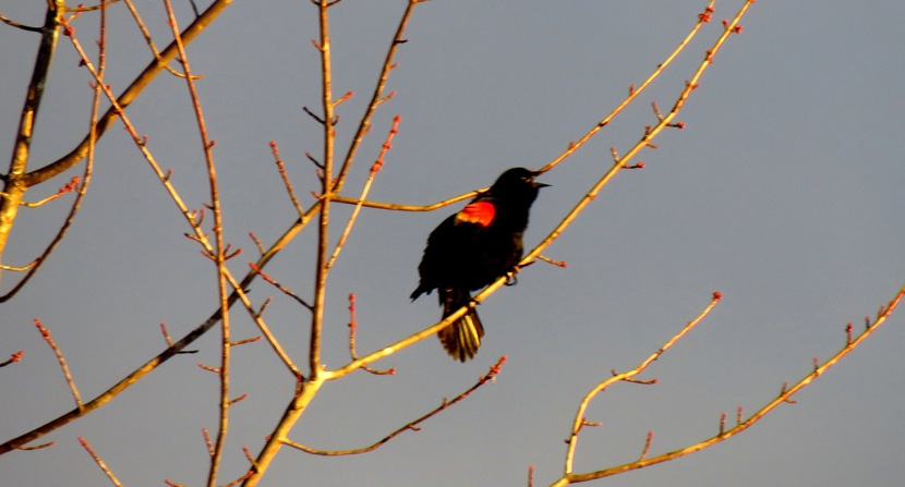 Red-winged black bird calling during early spring in Concord, New Hampshire