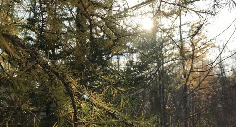 sunlight streams through yellow tamarack needles in autumn