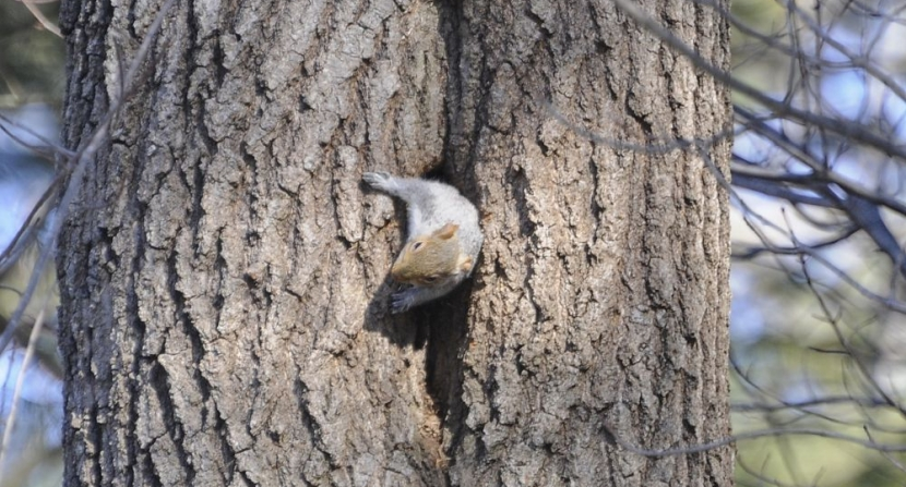 A gray squirrel emerges from the matching gray bark of a large white pine tree at the entrance to its den inside a cavity in the trunk
