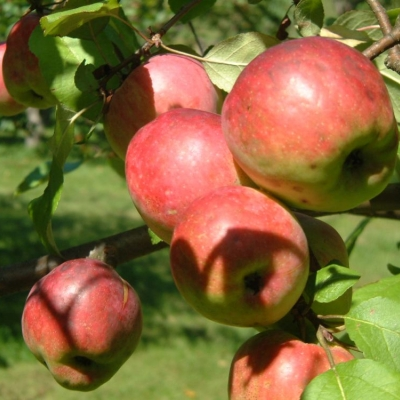 Red ripening McIntosh apples clustered on a branch