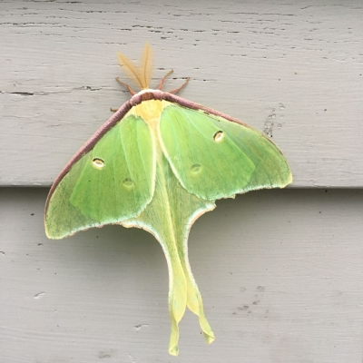 Lime green wings and elongated wing extension of the Luna Moth.