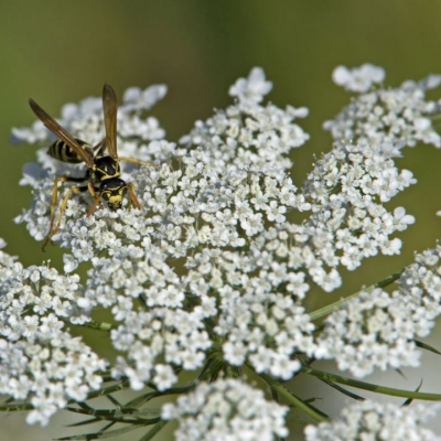 A yellowjacket pauses on a white flower.