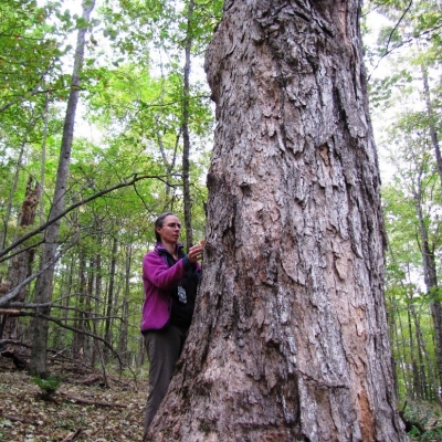 Nat Cleavitt measures a large sugar maple at Yatsevitch Forest in Cornish, NH.