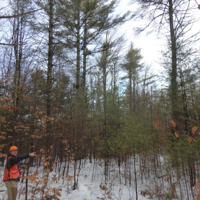 Advanced regeneration from the 1993 timber harvest.  Removing the overstory trees will help these saplings thrive.  Forest Society photo.