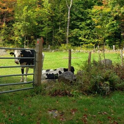 Cows in a field grazing