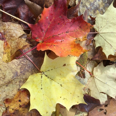fallen sugar maple leaves on forest floor. Photo Carrie Deegan