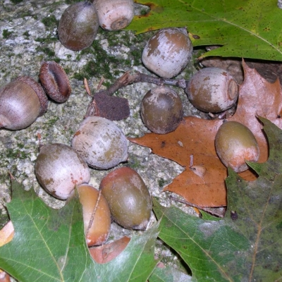 A collection of brown, red oak acorns and red oak leaves on a granite background