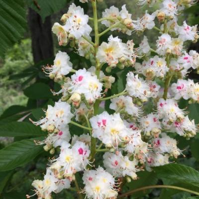 Horse chestnut blossoms at Creek Farm. Photo DA