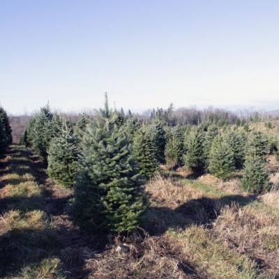 Christmas trees in neat rows at The Rocks.