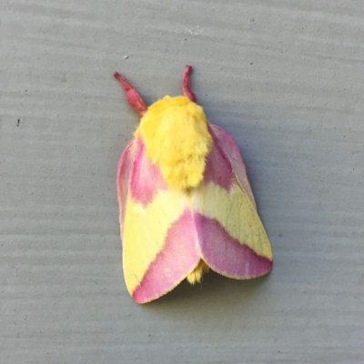 Pink and yellow colors of the furry, fuzzy yellow bodied Rosy Maple Moth