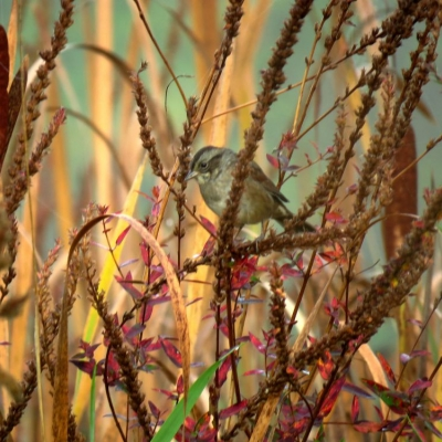 A juvenile streaked breast white-throated sparrow perches among cat-tail reeds and dried flowers of wetland purple loosestrife