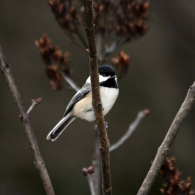A chickadee sits in a tree branch.
