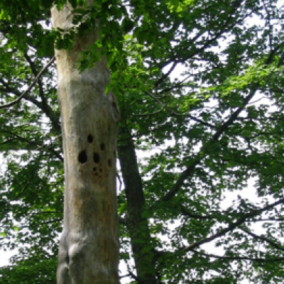 A dead tree with many woodpecker holes.
