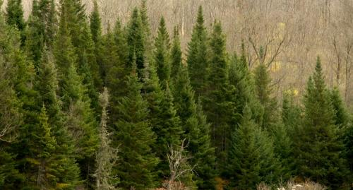 Conifers at Washburn Forest