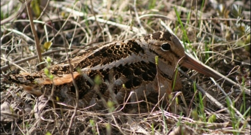 An american woodcock with its classic long beak lays down in grass