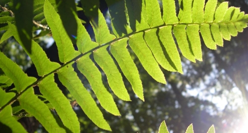 Sunlight streaming through green frond of Christmas Fern as seen from beneath