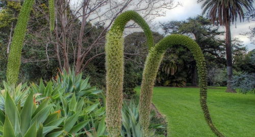 Some agave blossoms are more conspicuous than others.