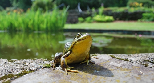 A bright green and yellow  bullfrog perched at the garden pond at The Rocks. in Bethlehem NH