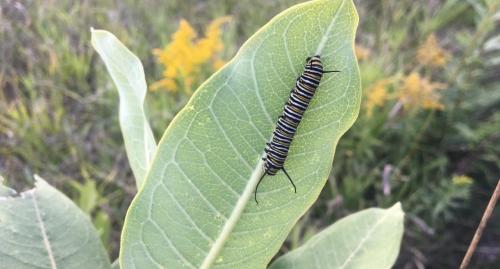 A monarch caterpillar on a milkweed leaf
