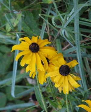 "Bright yellow blossoms of ""Brown-eyed Susan"" flowers among grass."