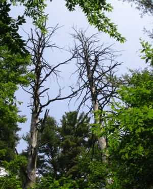 Two dead trees in the middle of a forest.