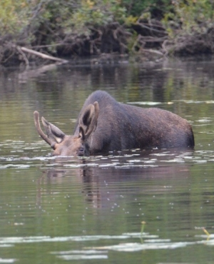 Moose with head submerged beneath the water to reach water lilly stems