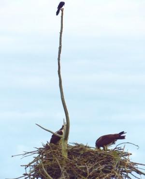 Grackle perched high above Osprey nest