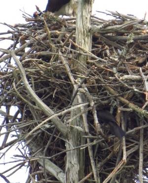 Grackle enters base of Osprey nest
