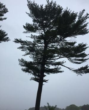 White pine at Creek Farm. Photo DA