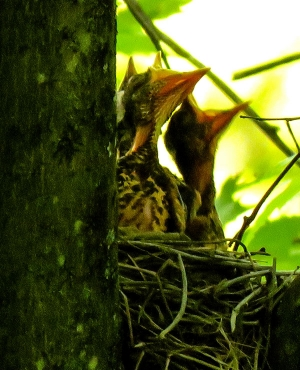 Robin babies asking for food while they're still nestlings