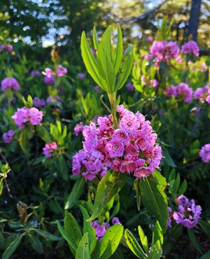 The sheep laurel in bloom on Bald Knob in Groton could be as impressive as the view from the peak.