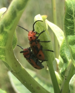 Two four-eyed beetles mating