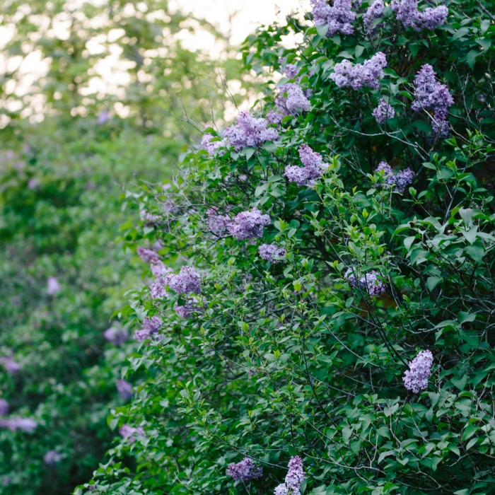 Lilacs at Creek Farm in Portsmouth