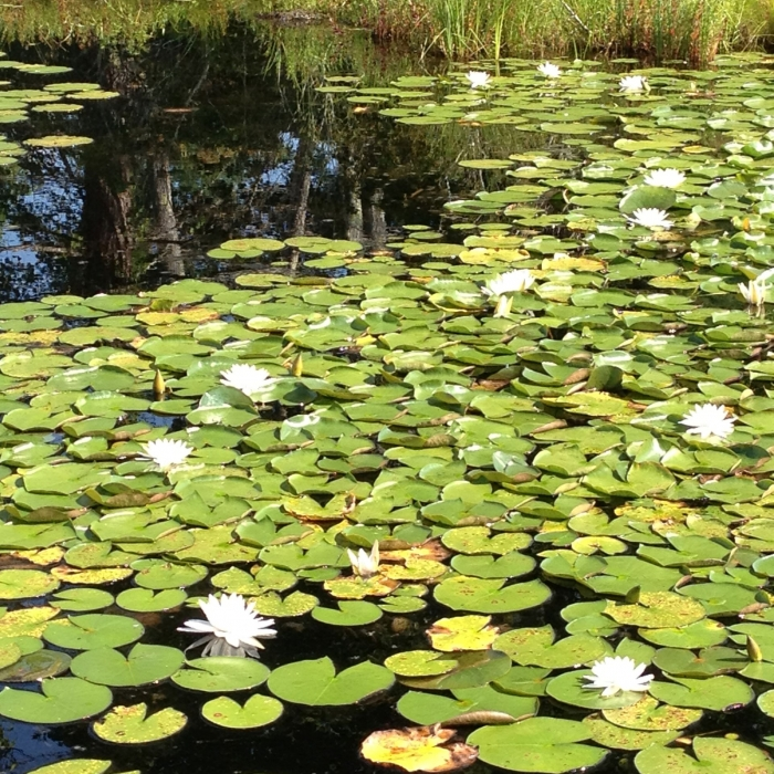 Lily pads on a pond.