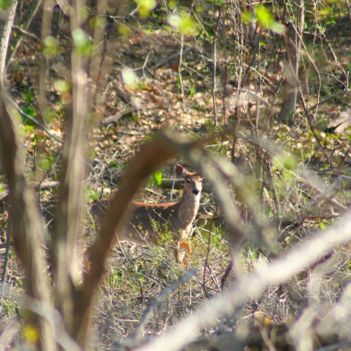 A deer in the forest on the floodplain.