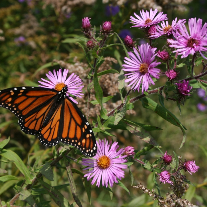 A butterfly pauses on a pink wildflower.