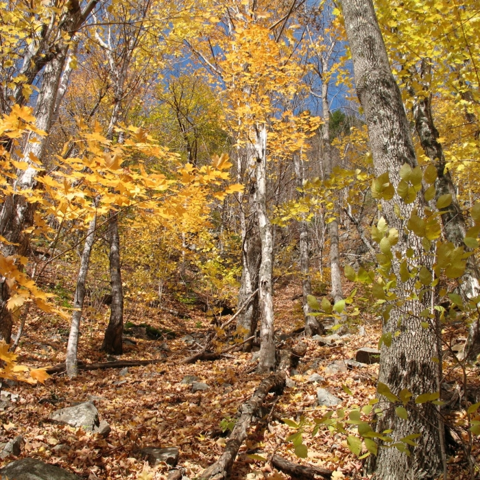 Yellow fall foliage dominates the landscape at Lost River.
