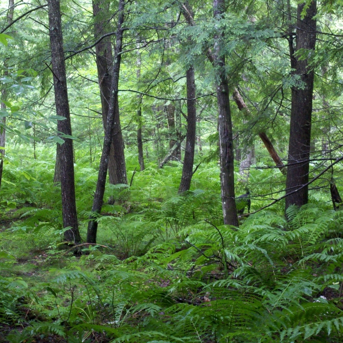 dense ferns in open forest