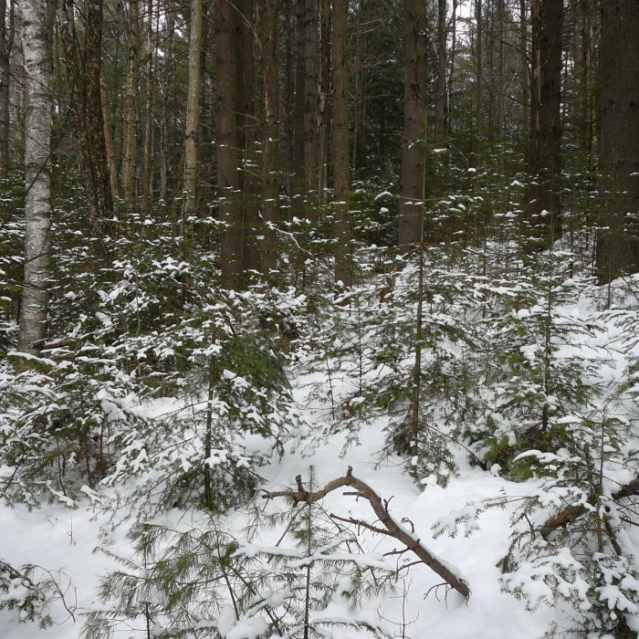 Fresh snow on regenerating softwood trees