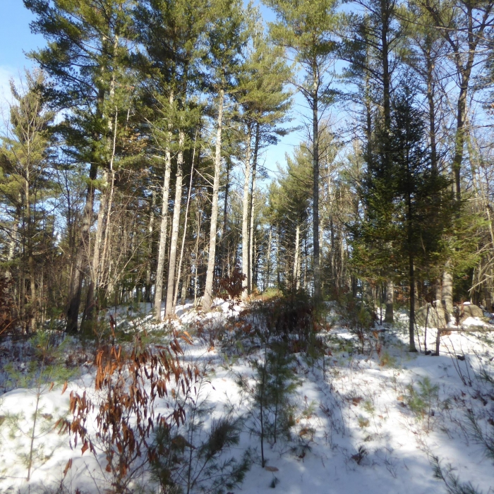 wintertime pine forest