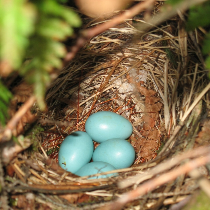 Blue robin's eggs in a nest.