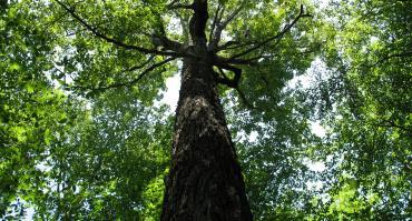 Old Growth Sugar Maple