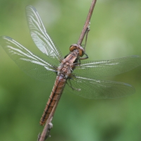 Dragonfly or odonata by Andy Deegan