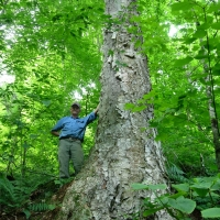 Giant old yellow birch northern forests of New Hampshire